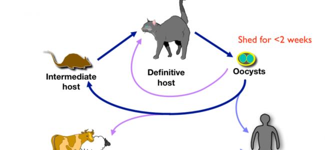 Dashuria për macet mund të shkaktojë sëmundjen e skicofrenisë