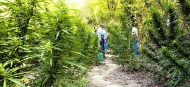 Tjetër reportazh për drogën, RAI-t hyn në plantacionet me kanabis në Krujë